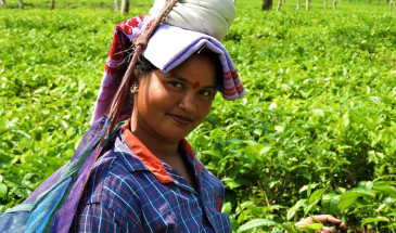 Tea Plucker Lady in Assam, North east India