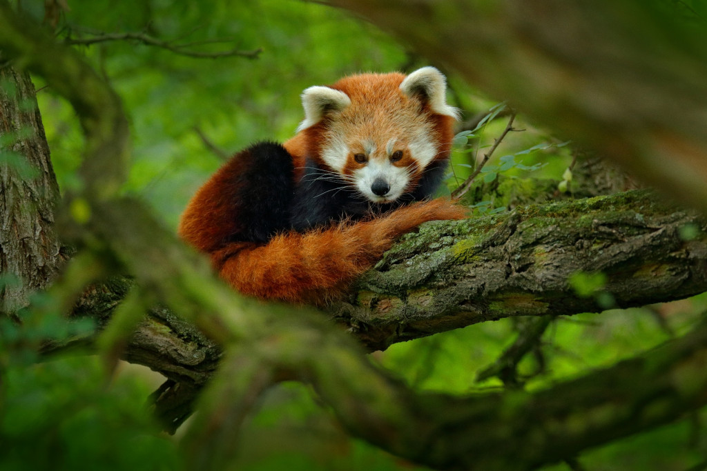 Panda-Roux-Singalila