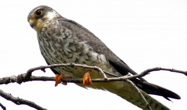 Female Amur Falcon Migration in Nagaland