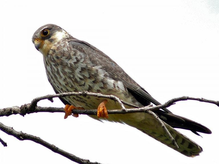 Female Amur Falcon Migration in Nagaland