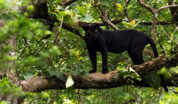 Black Panther, Nagarhole National Park