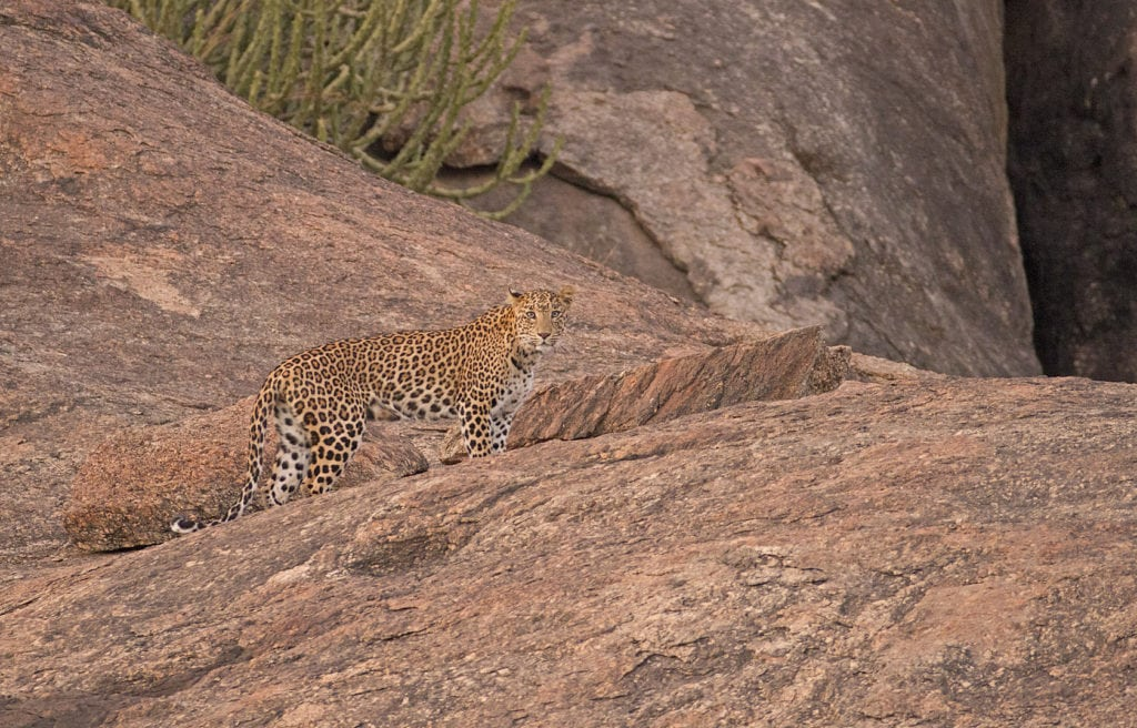 Leopard with its natural camouflage in Bera, Rajathan