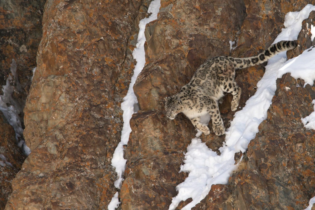 Snow Leopard is jumping in Ladakh