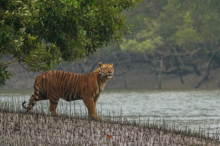 Tigre du Bengale au Parc National des Sundarbans