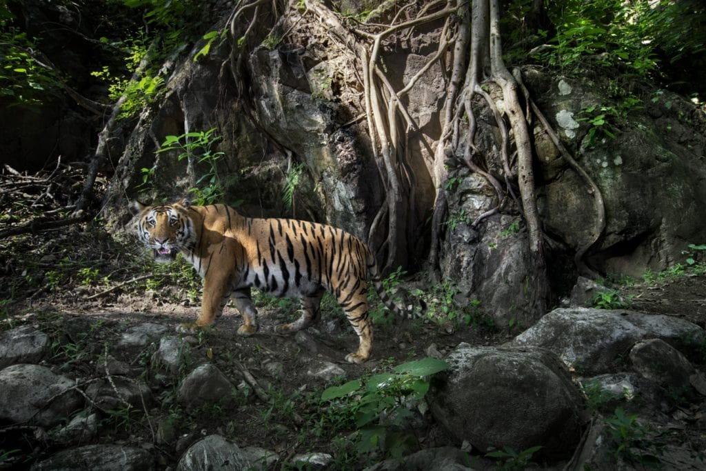 Tiger at Chitwan National Park, Paul McDougall