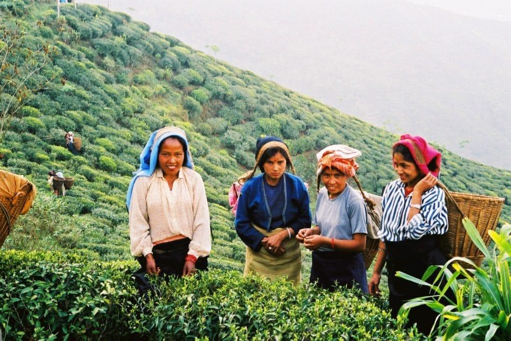 Tea plantation in Lava, Kalimpong